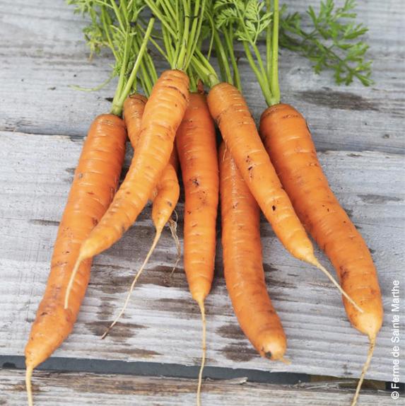 carottes graines bio