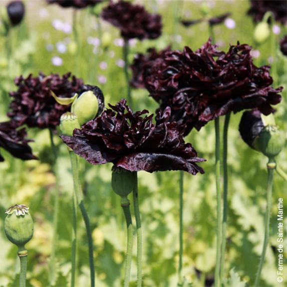 Pavot Black Peony graines bio