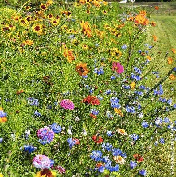 Fleurs en mélange pour coccinelles graines