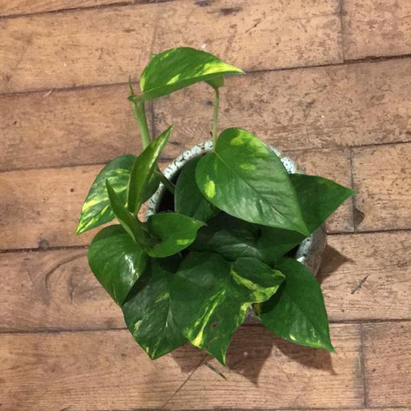 scindapsus aureum pothos