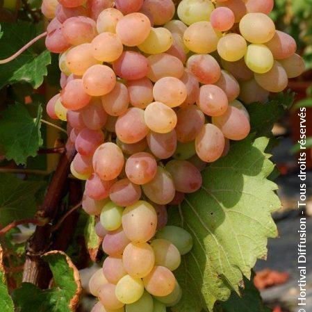 vigne vitis vinifera Katharina cov Hortival diffusion